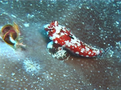 Juvenile Starry dragonet swimming, Synchiropus stellatus, UP6148 Stock Footage