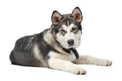 Stock Photo of Alaskan Malamute puppy