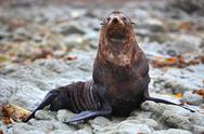 Stock Photo of wild seal at Seal colony in Kaikoura New Zealand