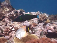 Bird wrasse swimming, Gomphosus varius, UP6199 Stock Footage