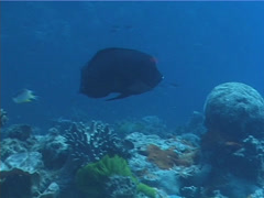 Fish | Wrasses | Clown Coris | Tracking Stock Footage