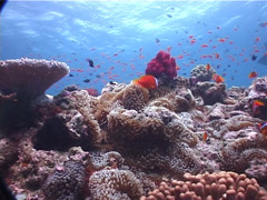 Fiji tomato clownfish swimming on shallow coral reef, Amphiprion barberi, UP6238 Stock Footage