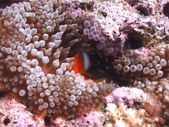 Fiji tomato clownfish hiding, Amphiprion barberi, UP6239 Stock Footage