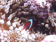 Fiji tomato clownfish hiding, Amphiprion barberi, UP6240 Stock Footage