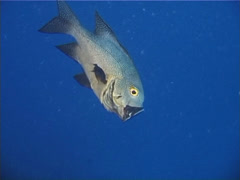 Stock Video Footage of Midnight snapper feeding in bluewater at dusk, Macolor macularis, UP6253