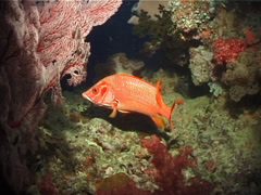 Sabre squirrelfish swimming at dusk, Sargocentron spiniferum, UP6264 Stock Footage