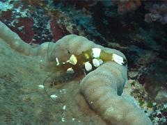 Adhesive anemone feeding, Cryptodendrum adhaesivum, UP6285 Stock Footage