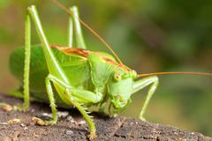 green locust - stock photo
