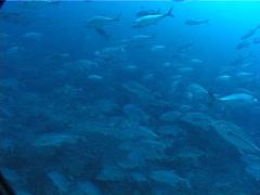 Bigeye trevally swimming and schooling on deep coral reef, Caranx sexfasciatus, Stock Footage