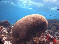 Meandroid brain coral on shallow coral reef, Platygyra daedalea, UP6303 Stock Footage