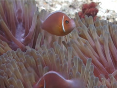 Pink anemonefish swimming, Amphiprion perideraion, UP6333 Stock Footage