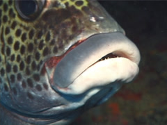 Many spotted sweetlips hovering, Plectorhinchus chaetodonoides, UP6353 Stock Footage