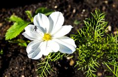 White flower in a bed with a fly Stock Photos