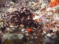 Brown and white feather star walking at night, Dichrometra flagellata, UP6374 Stock Footage