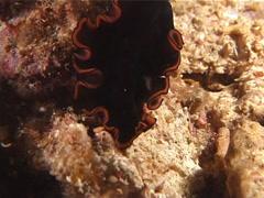Orange edge black flatworm walking at night, Pseudobiceros affinis, UP6387 Stock Footage