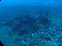 Black-blotched stingray courting on deep coral rubble, Taeniura meyeni, UP6401 Stock Footage