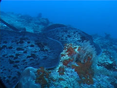 Black-blotched stingray on deep coral rubble, Taeniura meyeni, UP6402 Stock Footage