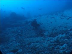 Malabar grouper on deep coral rubble, Epinephelus malabaricus, UP6406 Stock Footage