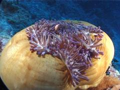 Magnificent sea anemone, Heteractis magnifica, UP6413 Stock Footage