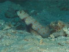 Spotted shrimpgoby, Amblyeleotris guttata, UP6417 Stock Footage