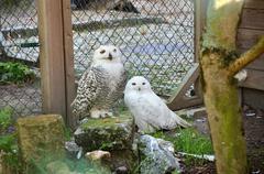 two snowy owl bubo - stock photo
