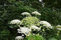giant hogweed flower - stock photo