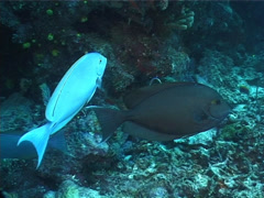 Yellow-mask surgeonfish cleaning and being cleaned, Acanthurus mata, UP6505 Stock Footage