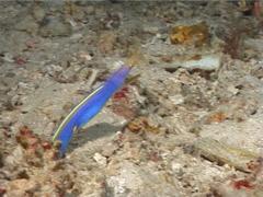 Blue ribbon eel gaping, Rhinomuraena quaesita, UP6508 Stock Footage