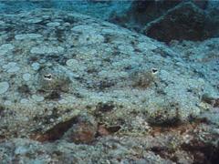 Flowery flounder, Bothus mancus, UP6514 Stock Footage