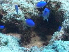 Neon damsel feeding and schooling, Pomacentrus coelestis, UP6517 Stock Footage