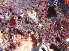 Unidentified sea spider walking, Nymphon sp. Video 6615. Stock Footage