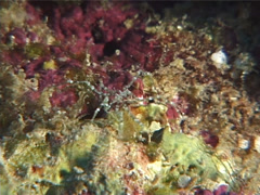 Unidentified sea spider walking, Nymphon sp. Video 6617. Stock Footage