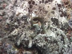 Sea hare slug behaving strangely at night, Dolabella auricularia, UP6623 Stock Footage