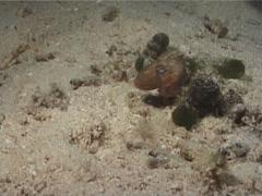Bobtail squid swimming at night, Sepiadarium sp. Video 6624. Stock Footage