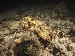 Sculptured slipper lobster at night, Parribacus antarcticus, UP6629 Stock Footage