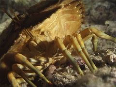 Slipper lobster at night, Parribacus caledonicus, UP6632 Stock Footage