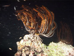 Bennett's rainbow crinoid at night, Oxycomanthus bennetti, UP6634 Stock Footage
