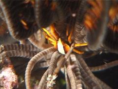 Elegant squat lobster at night, Allogalathea elegans, UP6635 Stock Footage