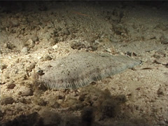 Banded sole at night, Soleichthys heterorhinos, UP6641 Stock Footage