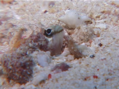 Unidentified chinstrap jawfish, Opistognathus sp. Video 6646. Stock Footage
