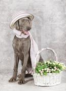 Wirehaired slovakian pointer dog with flowers Stock Photos