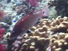 Redfin hogfish swimming, Bodianus dictynna, UP6658 Stock Footage