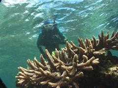 Cnidarians | Hard Coral | Finger Coral | Wide Shot | Scuba Diver Stock Footage