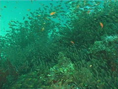 Golden sweepers swimming and schooling, Parapriacanthus ransonneti, UP6667 Stock Footage