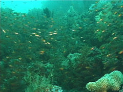Golden sweepers swimming and schooling, Parapriacanthus ransonneti, UP6671 Stock Footage