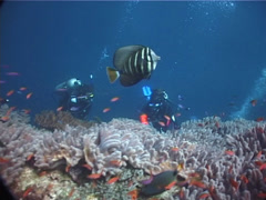 Group of scuba divers taking images on shallow coral reef with Sailfin tang in Stock Footage