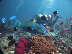 Steephead parrotfish swimming on shallow coral reef, Chlorurus microrhinos, Stock Footage
