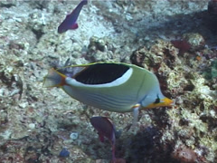 Saddled butterflyfish swimming, Chaetodon ephippium, UP6701 Stock Footage