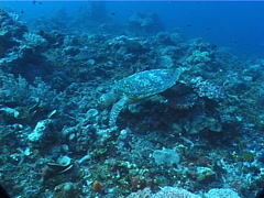 Hawksbill turtle swimming on deep coral rubble, Eretmochelys imbricata, UP6757 Stock Footage