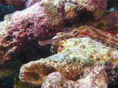 Orange-spotted pipefish swimming, Corythoichthys ocellatus, UP6761 Stock Footage